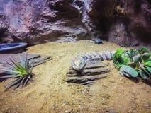 关闭Blotched青被责骂的蜥蜴(Tiliqua nigro的头 库存图片
