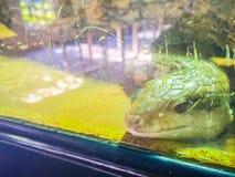 关闭Blotched青被责骂的蜥蜴(Tiliqua nigro的头 图库摄影