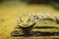 关闭Blotched青被责骂的蜥蜴(Tiliqua nigro的头 免版税库存图片