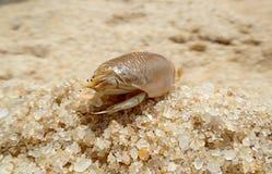 关闭Eremita Brasiliensis,巴西甲壳动物在海滩的沙子 免版税库存图片
