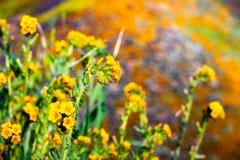 关闭Fiddleneck Amsinckia开花在步行者峡谷,湖埃尔西诺,加利福尼亚小山的tesselata野花  免版税库存图片
