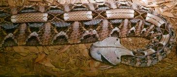 关闭Gaboon蛇蝎蛇 库存图片