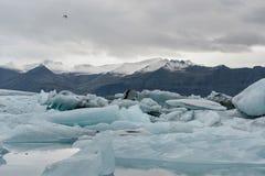 关闭Jokulsarlon冰川盐水湖和山在背景中 在鸟黑暗的飞行海洋之上开张海鸥翼 库存图片