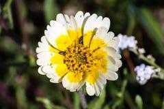 关闭Layia platyglossa野花,共同地叫沿海宽舌莱氏菊,接近它的中心,南旧金山湾区的臭虫 图库摄影
