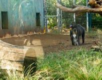 关闭Mandrill狒狒家庭母亲和她的孩子立场 图库摄影
