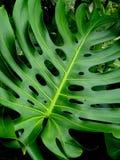关闭Monstera植物叶子 库存照片