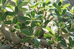关闭pachypodium horombense从马达加斯加的夹竹桃科植物 库存图片