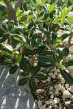 关闭pachypodium horombense从马达加斯加的夹竹桃科植物 免版税库存图片