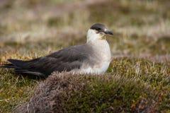 关闭parasiticus一只北极贼鸥的贼鸥类,坐的o 免版税库存照片