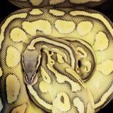 关闭Python蛇 免版税库存图片