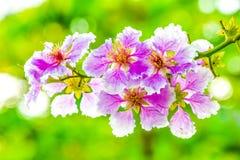 关闭Queen';s花或Queen';s在bokeh自然背景的绉绸桃金娘 库存图片