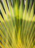 关闭ravenala的叶子茎,泰国 图库摄影