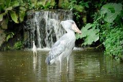 Shoebill (广嘴鹳属rex)鸟 免版税图库摄影