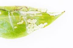 关闭spiter小蜘蛛在一片年轻白杨树叶子的Tetranychus urticae殖民地在白色背景 库存图片