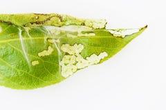 关闭spiter小蜘蛛在一片年轻白杨树叶子的Tetranychus urticae殖民地在白色背景 免版税图库摄影