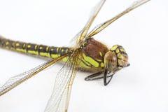关闭stripey绿色蜻蜓 免版税库存照片