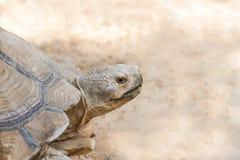 关闭sulcata草龟或非洲被激励的草龟陡壁峡口蛇头草属sulcata 免版税库存图片