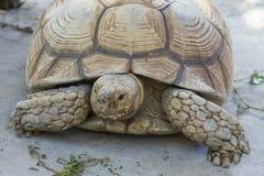 关闭Sulcata草龟 库存照片