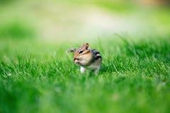 关闭upcute吃在绿草背景的一点花栗鼠花生 库存图片