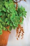 兴奋多汁植物 免版税库存照片