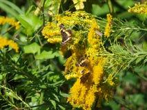 兴旺在金毛茛花蜜上的昆虫 库存照片