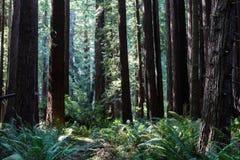 兴旺的红木树在北加利福尼亚 库存图片