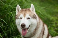 兴高采烈的米黄与垂悬秀手旁观的tonque的狗品种西伯利亚爱斯基摩人画象在绿色森林里 库存照片