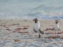 其中一只笑的鸥Leucophaeus吞下在印地安岩石的Atricilla一条鱼靠岸,墨西哥湾,佛罗里达 免版税库存照片