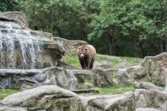 其中一最大的土地掠食性动物 狂放的熊种类 布朗涉及自然风景 熊或熊属类arctos,掠食性 免版税库存照片
