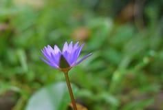 其中一朵莲花 免版税库存照片