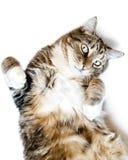 其回到猫 免版税库存照片