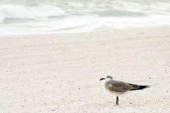 其它海鸥终止 库存照片