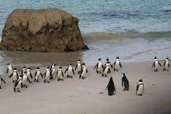 其次捕鱼企鹅 库存图片