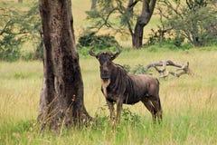 其次牛羚对结构树的同样常设纹理 免版税库存照片