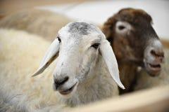 其毛皮绵羊在农场 免版税库存照片