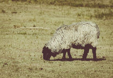 其毛皮绵羊在牧场地 免版税库存照片