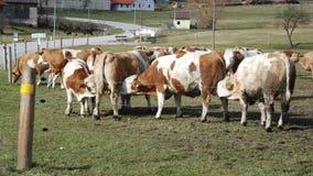 从其他母牛的乳房的母牛饮用奶 免版税库存照片