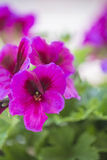 从其他的紫罗兰色锗花在绿色叶子ba 库存照片
