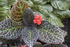具匍匐茎植物cupreata叶子关闭 图库摄影