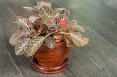 具匍匐茎植物cupreata (勾子。)Hanst) 库存图片