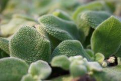具匍匐茎植物lilacina 图库摄影