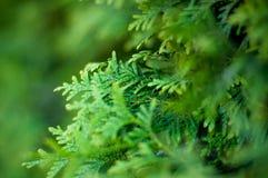 具球果叶子的背景绿色风景抽象在一个温暖的夏日 免版税库存照片