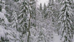具球果森林在冬天,用雪盖的杉木,寒冷冬天风景 股票录像