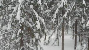 具球果森林在冬天,用雪盖的杉木,寒冷冬天风景 股票视频