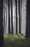 具球果森林在黎明 免版税库存图片