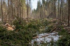 具球果森林的图象在击倒以后的 免版税库存图片