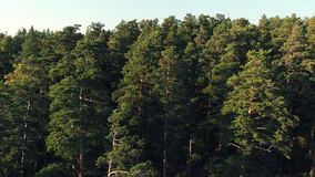 具球果森林顶视图航拍杉木和冷杉一个密集的杉木森林在日落,关闭 具球果和 影视素材