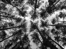 具球果森林 免版税库存照片