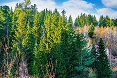 具球果森林taiga在阳光下在秋天 免版税库存图片