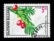 具球果植物,植物群serie,大约1996年 免版税库存照片